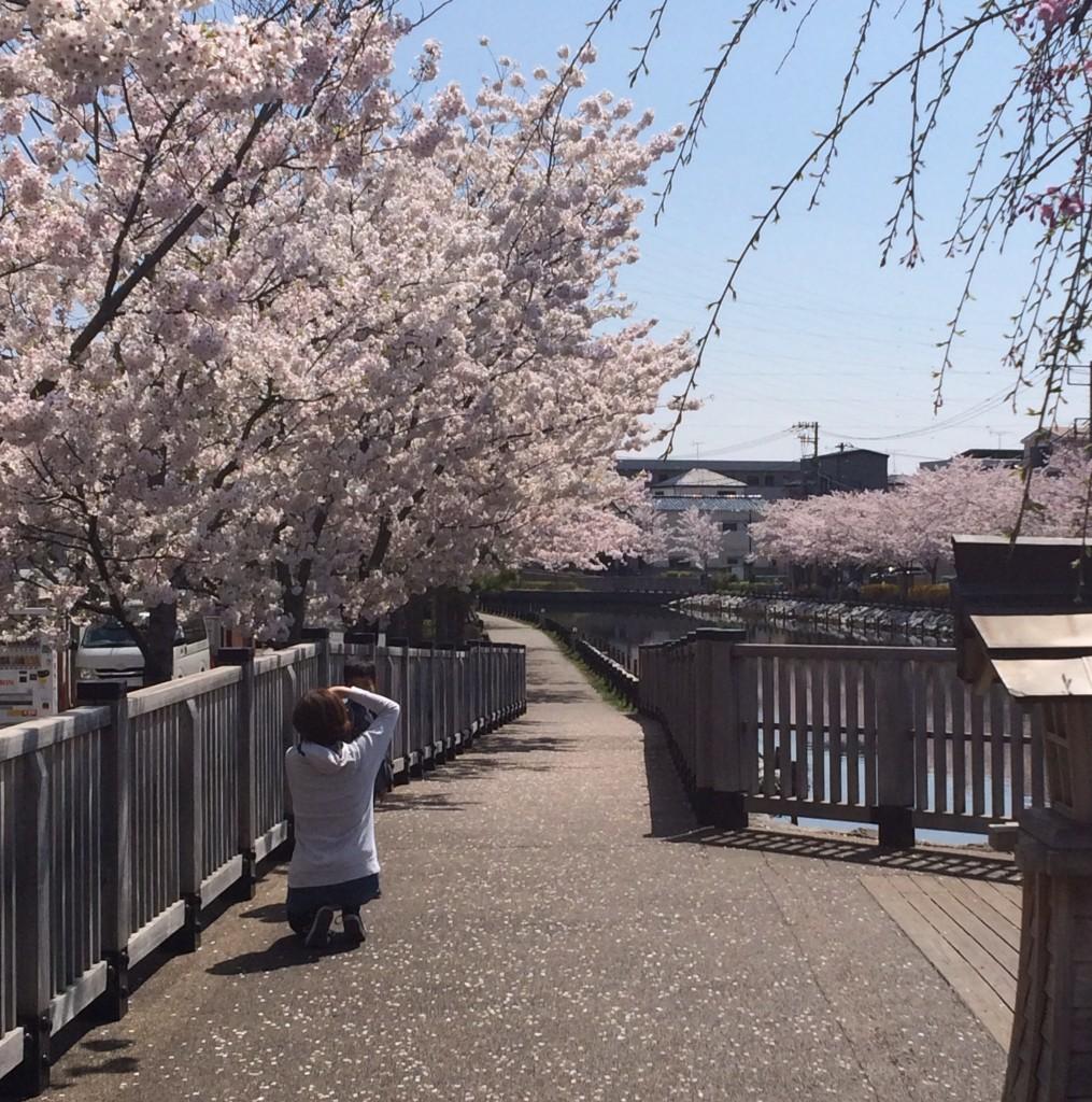 江戸川区 船堀 桜
