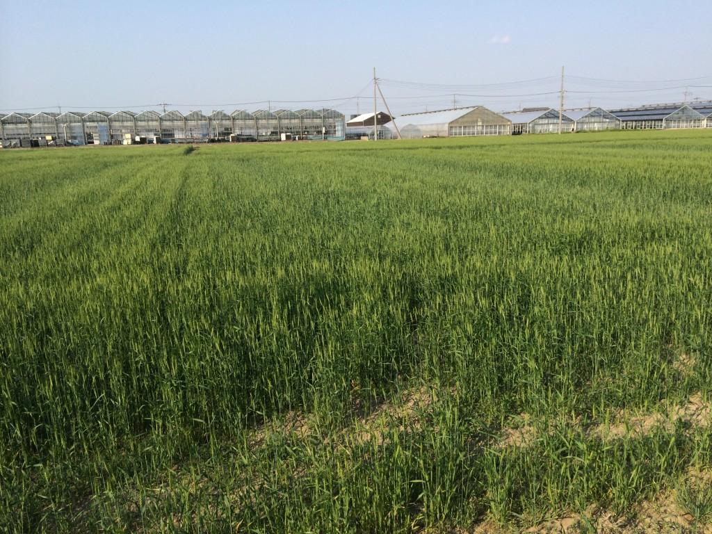 鴻巣駅 小麦