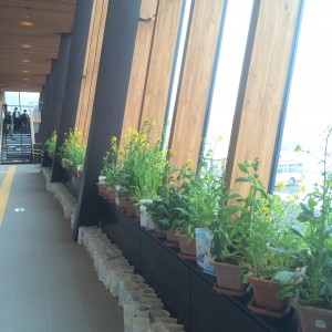 飯山駅 菜の花