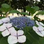 八景島あじさい祭り2016 見ごろ、開花情報、駐車場案内