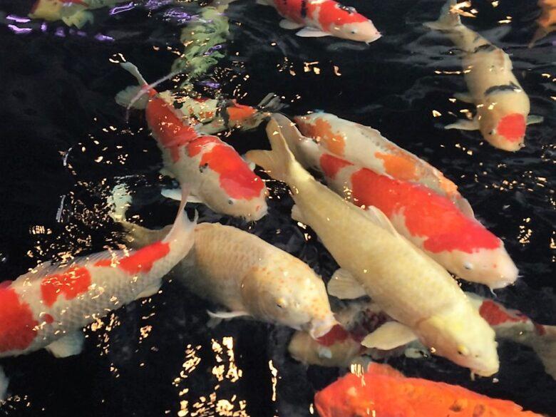 小千谷 鯉