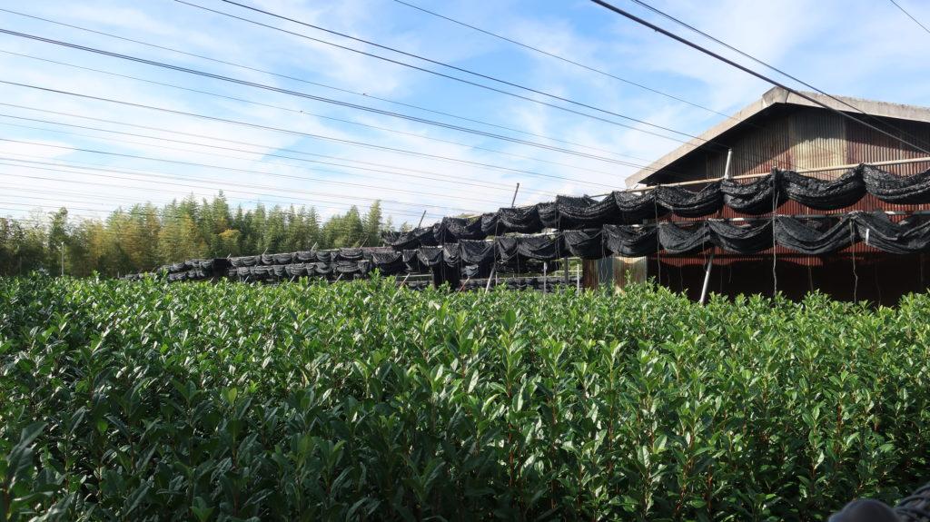 宇治 茶畑